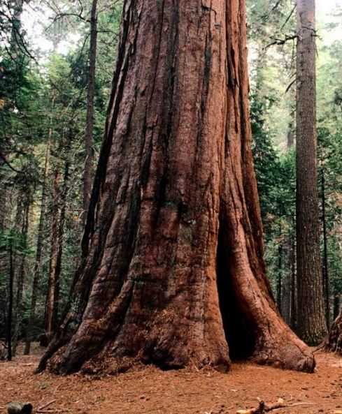 grandfathertreetree